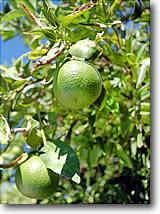 tucson tangerines