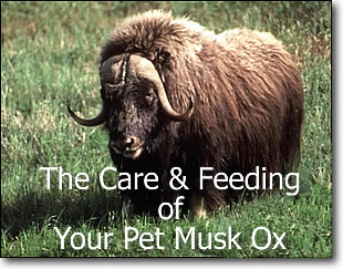 Care and feeding of your pet musk ox