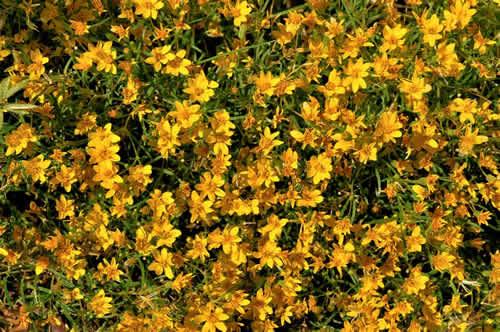 tucson fall wildflowers