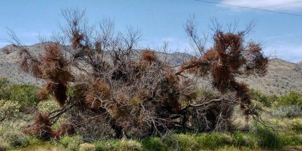 Arizona Mistletoe – Getting Rid of Holly